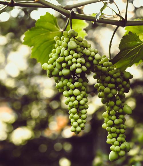 viñedos Mastinell